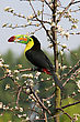 toucan sitting in a blooming tree stock image