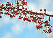 Trees Tree Branch With Icy Red Berries stock photo