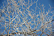 Tree Branches Covered With Hoarfrost Glint In The Sun Against The Dark Blue Sky stock photo