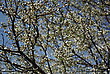 Tree Branches With Many White Buds And Blossoms Against Clear Blue Sky At Sunny Spring Day