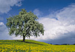 Tree In Field Of Yellow Flowers stock photo