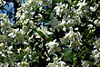 Tree With Lot Of White Flowers And Green Leaves At Sunny Summer Day