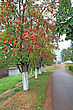 Tree Of Rowanberry In Town Park stock image