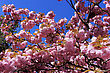 Tree In Spring With Flowering Pink Flowers And The Appearance Of The Pistil On A Background Of Blue Sky stock image