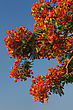 Arid Trees With A Bright Flowers In Israel, Delonix Regia stock image