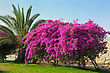 Trees With A Bright Flowers In Israel stock image