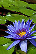 Tropical Waterlily Nymphaea Director George T Moore