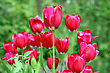 TulipBouquet Of Red Tulips Flowers On A Background Of Green Leaves stock photography