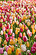 Tulips Field In Keukenhof Park, Netherlands stock photography