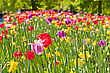 Tulips Field In Keukenhof Park, Netherlands stock photo