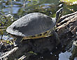 Tortoise Turtle Basking On A Log stock photography