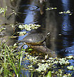 Turtle On The Lake In Florida Wetlands stock photography