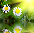 Two Daisys In Fresh Green Grass Near Pond stock photography