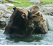 Two Grizzly (Brown) Bears Fighting And Playing stock image
