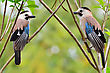 Two Jays On The Branches. Light Green Spring Background stock photo