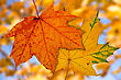Two Maple Leaves On Blurry Autumnal Background stock image