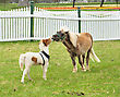 Two Miniature Horses On A Spring Field