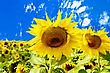 Two Sunflowers On A Background Of Field, Blue Sky And White Clouds stock image