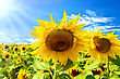 Two Sunflowers On A Background Field With Yellow Sunflowers, Blue Sky, White Clouds And Sun stock image
