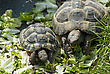 Two Turtles (mother And Baby) Among Green Leaves. stock image