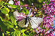 Two White Butterflies On A Background Of Lilac Flowers, Green Leaves And Blue Sky stock photography