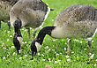 Two Young Canada Geese Feeding In The Park stock photography