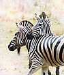 Two Zebras Close Up In The African Savanna