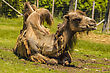 View Of A Camel Laying In The Grass stock photo
