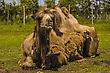 View Of A Camel Laying In The Grass stock photography