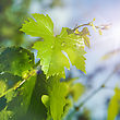 Vineyard After The Morning Rain, Abstract Natural Backgrounds stock photo