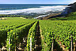 Vineyard By The Sea Surrounded By A Rugged Coastline In Summer Under A Blue Sky stock photo