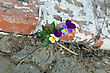Violet Plant Growing On Concrete. Will To Live stock photography