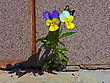 Violet Plant Growing On Concrete. Will To Live stock photo
