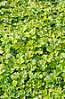 Creeping Waldsteinia Ternata, Decorative Groundcover Plant In The Garden stock photo