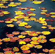 Water Lilies In Autumn stock image