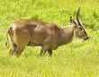 Waterbuck Eating Grass stock photo