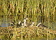 Waterhen Babies Chicks Coot In Nest Marsh Swamp stock photography