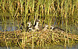 Waterhen Babies Chicks Coot In Nest Marsh Swamp stock photo