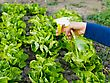 Watering The Early Sowing Salad Bed stock image