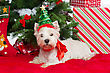 Westie Dog In New Year Tree Headband Sitting On Red Cover Surrounded By Christmas Presents And New Year Tree