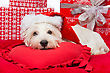 Westie Dog In Winter Hat Lying On Red Cover Surrounded By Christmas Presents