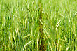 Wheat Barley In Farm With Nature Light stock photography