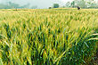 Wheat Barley In Farm With Nature Light
