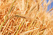Cultivated Wheat Ears Close-up stock image