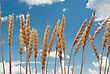 Wheat Ears On The Blue Sky stock photography