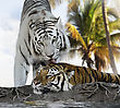 White And Brown Tigers Resting stock photography