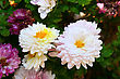 White And Pink Daisies In The Garden. stock photo