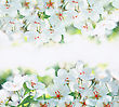 White Cherry Flowers On A Spring Day stock photography