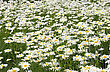 Floriculture White Daisy Flowers On A Summer Green Meadow stock image