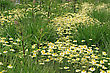 Floriculture White Daisy Flowers On A Summer Green Meadow stock photo
